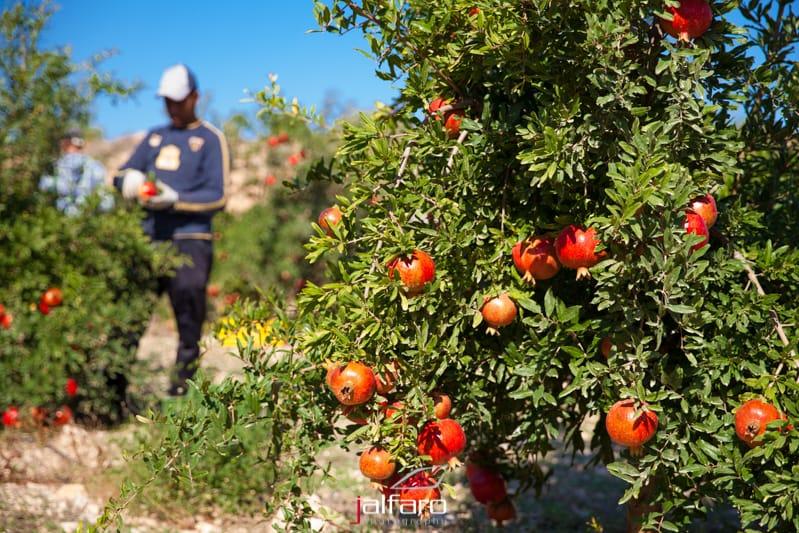 Recolección de granados - Alicante