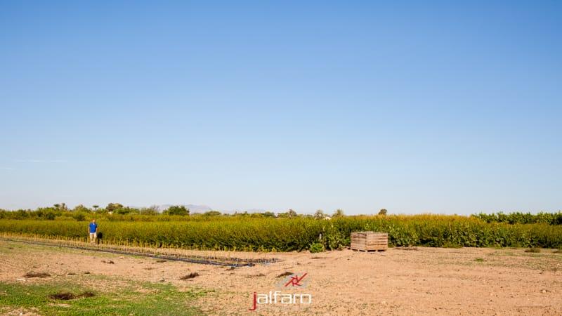 Plantación de Granados Pomares en Elche